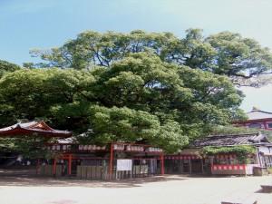 紀三井寺の樟樹