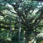 ヒメコマツの名木