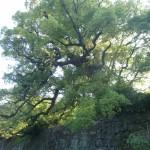 一の橋の樟樹の写真