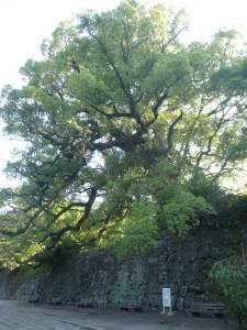 一の橋の樟樹