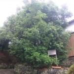 樫の大木の写真