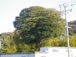 くろがねもちの老樹