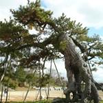 岡山の根上り松群の写真