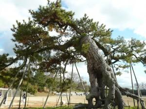 岡山の根上り松群