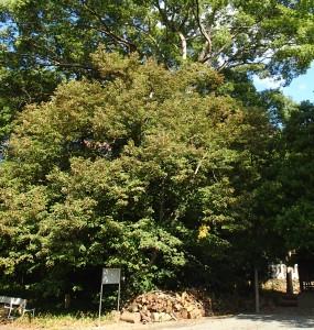 若宮八幡神社の菩提樹
