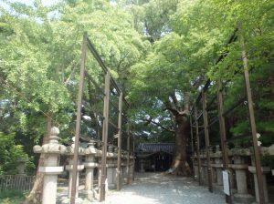 伊久比売神社の樟樹 全景