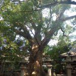 伊久比売神社の樟樹A