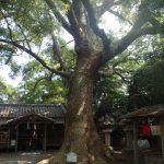 伊久比売神社の樟樹B